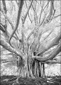 Banyan_tree_maui_1
